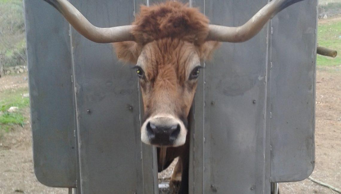 Vaca-Mirandesa_20141108